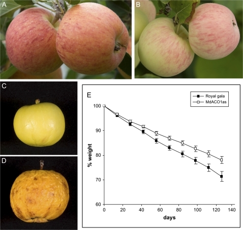 Apples with MdACC oxidase1 (MdACO1as) knocked out and untransformed 'Royal Gala'. 'Royal Gala' apples on tree at harvest (A). MdACO1as fruit at harvest (B). MdACO1as apple after storage at room temperature for 6 months (C). 'Royal Gala' apples after storage at room temperature for 6 months (D). Weight loss from 'Royal Gala' (filled boxes) and MdACO1as apples (open boxes) over a 14 week period (E).