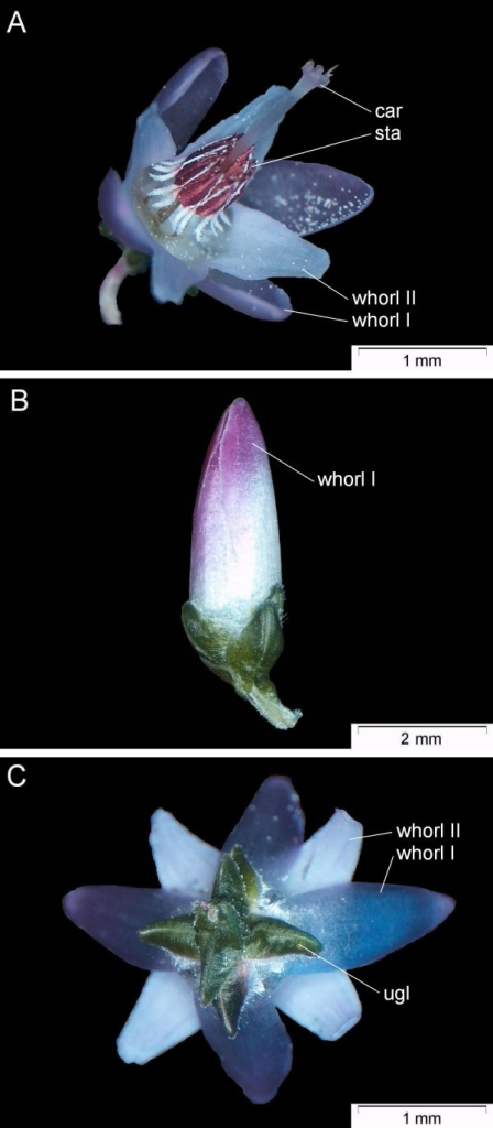 Flower types of C. vulgaris. A: wild-type (Niederohe from Lueneburger Heide, Germany). B: 'bud-flowering' ('Amethyst'); C: bottom of wild-type (Niederohe from Lueneburger Heide, Germany) flower; Labels are: car (carpels), sta (stamens), ugl (uppermost whorls of green leaves). The bipartites perianth is separated in whorl I and whorl II organs.