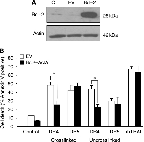 Only DR4-, but not DR5-mediated, apoptosis requires mitochondrial amplification in HCT15 cells. (A) Overexpression of mitochondrial-localised Bcl-2. HCT15 cells were stably transfected with mitochondrial-localised Bcl-2 (Bcl-2-ActA: Bcl-2) expressing plasmid or empty vector (EV). Overexpression of Blcl-2-ActA was confirmed using western blotting. (B) Bcl-2 ActA protects HCT15 cells from DR4-, but not from DR5- or rhTRAIL-induced apoptosis. Cells were treated with 10 nM of crosslinked or uncrosslinked agonistic DR4 and DR5 antibodies or 50 ng ml–1 of rhTRAIL for 12 h and apoptosis was measured using Annexin V staining (DR4, DR5, rhTRAIL labels). Results are presented as means±s.e.m. of three independent experiments. Asterisks (*) designate significant difference (P<0.05) between the indicated sample pairs.
