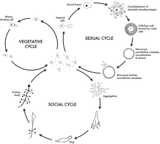 Life cycle of polysphondylium violaceum most of its li open i life cycle of polysphondylium violaceum most of its life this haploid social amoeba undergoes ccuart Images