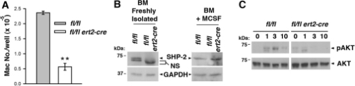 Blocked M-CSF signal transduction in induced SHP-2-deficient mice. (A) Bone marrow cells from a ptpn11fl/fl ert2-cre mouse and a littermate ptpn11fl/fl mouse (both treated with tamoxifen 10 days beforehand at 7 weeks of age) were cultured in wells of a 24-well plate (1×106 cells/well) in the presence of M-CSF. After 5 days, macrophages in wells were harvested and counted. Depicted is the mean number of macrophages ± 1 s.e.m. (n=4). Results are representative of four repeat experiments. Statistical significance was determined by two sample Student's t-test. **P<0.005. (B) Western blots showing expression of SHP-2 in bone marrow cells (freshly isolated or after culture in M-CSF for 5 days) from a ptpn11fl/fl ert2-cre mouse and a littermate ptpn11fl/fl mouse (both treated with tamoxifen 3 weeks beforehand at 6 weeks of age). NS, non-specific band. Blots were stripped and reprobed with an anti-GAPDH antibody to verify equivalent protein loading. Similar results were obtained in five independent experiments. (C) Lineage-negative bone marrow cells from a ptpn11fl/fl ert2-cre mouse and a littermate ptpn11fl/fl mouse (both treated with tamoxifen 10 days beforehand at 6 weeks of age) were stimulated with M-CSF for the indicated times (in minutes). Activation of AKT was determined by western blotting of whole-cell lysates using a phospho-specific anti-AKT antibody. Blots were reprobed with an anti-AKT antibody to verify equal loading. Similar results were obtained in three repeat experiments.