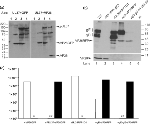 Characterization of the vFRΔ37-VP26GFP and vgD-gE-VP26RFP viruses. (a) RS cells were mock-infected (lane 1) or infected with 5 p.f.u. of vFRΔ37-VP26GFP (lane 2), vVP26GFP (lane 3) or WT HSV-1 (lane 4) per cell and harvested after 24 h. Proteins were analysed by Western blotting using the pUL37 antibody, together with either the GFP-specific antibody (left panel) or the VP26-specific antibody (right panel). Note that a viral protein migrating at approximately 75 kDa is recognized non-specifically by the pUL37 antibody. Molecular mass markers (in kDa) are indicated to the left of the figure. (b) Vero cells were infected with 5 p.f.u. of WT HSV-1 (lane 1), vRR1097-gEβ (lane 2), vUL35RFP1D1 (lane 3), vgD-VP26RFP (lane 4) or vgD-gE-VP26RFP (lane 5) per cell or were mock-infected (lane 6), and harvested after 24 h. Proteins were analysed by Western blotting using a gD antibody, a gE antibody and a VP26-specific antibody. Molecular mass markers (in kDa) are indicated to the right of the figure. (c) Growth of viruses on complementing (filled bars) and non-complementing (empty bars) cell lines. Concentrated stocks of virus were titrated on RS cells (vVP26GFP), Vero cells (vUL35RFP1D1, vgD-VP26RFP, vgD-gE-VP26RFP), 80C02 cells [a clone of RS cells expressing UL37 (Roberts et al., 2009)] (vFRΔ37-VP26GFP) or VD60 cells [a clone of Vero cells expressing gD (Ligas & Johnson, 1988)] (vgD-VP26RFP, vgD-gE-VP26RFP). *vVP26GFP and vUL35RFP1D1 were not tested on complementing cells. **The titres of vFRΔ37-VP26GFP and vgD-gE-VP26RFP on non-complementing cells were assigned as <103 because the input virus caused severe cytopathic effects at lower dilutions.