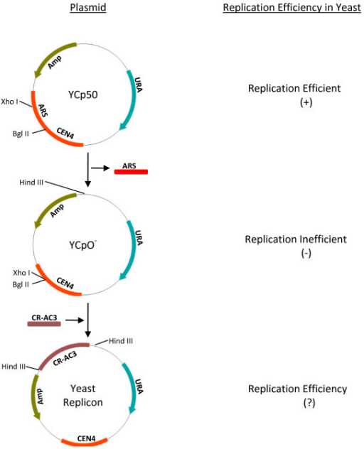 Viral replicon construction in yeast. Schematic diagram representing the construction of viral replicon in yeast. YCp50 is a binary plasmid that is capable of replication in bacteria and yeast. ARS and CEN4 sequences of the plasmid confer the ability to replicate in yeast. Removal of ARS fragment renders the plasmid unable to replicate in yeast (YCpO-). CR-AC3 fragment of the begomovirus contains the cis-acting sequences (origin of replication) and trans-acting viral genes (AC1, AC3) required for viral replication. Cloning of CR-AC3 of MYMIV at Hind III site was reported to confer YCpO- the ability to replicate in yeast.