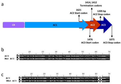 Mutations in ToLCKeV AC3. (a) Schematic diagram of the CR-AC3 region of the replicon constructs. The hyphenated arrows indicate the mutations in AC3 ORF. Numbers indicate the base positions with reference to the viral genome. (b) Sequence alignment of the AC3 mutated at start codon with the wild type AC3. The mutated base is shown against the white background at base number 2 in the AC3 ORF. Mutation was confirmed by sequencing. This mutant construct is denoted as CR-AC3M. (c) Termination mutations in AC3 were located at bases 62 and 64 of the AC3 ORF (denoted as CR-AC3M21). Details of these mutations have been explained in the text.