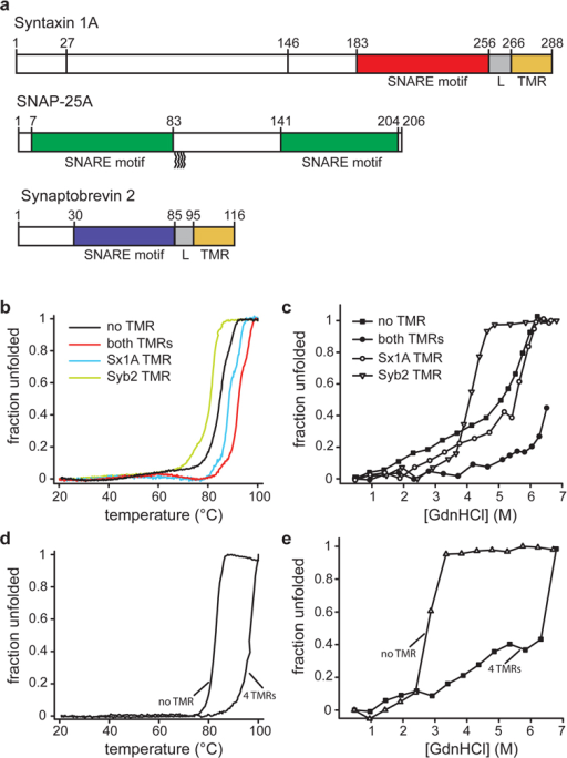 Linkers and transmembrane regions add stability to SNARE complexes.a, Protein fragments used in this study. The complex used for crystallization contained all colored segments. For CD measurements, complexes were formed with the same syntaxin 1A fragment but with full-length synaptobrevin 2 and SNAP-25a (all cysteines replaced by serines).b–e, Unfolding of SNARE complexes, monitored by CD spectroscopy at 222nm.b, Thermal unfolding of synaptic SNARE complexes in which the TMRs were either present or in which one or both of the TMRs were lacking. Note that the complex used for crystallization unfolded at approximately 97 °C (see table 1). Sx1a, syntaxin 1A; Syb2, synaptobrevin 2.c, Unfolding of the same complexes at increasing concentrations of guanidine hydrochloride (GdnHCl).d, Thermal unfolding of endosomal SNARE complexes consisting of syntaxin 7, vti1b, syntaxin 8, and endobrevin, either containing or lacking its four TMRs.e, Unfolding of the endosomal complexes at increasing concentrations of GdnHCl.