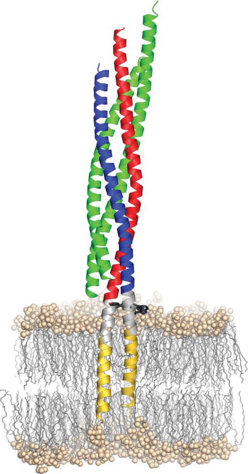 Model of the synaptic SNARE complex inserted in a membrane. As a landmark, aromatic residues (black sticks) within the linker region (grey) are shown. The hydrophilic head groups of the phospholipids are shown as balls, their aliphatic chains as sticks. The position of the complex in the palmitoyl-oleoyl-phosphatidylethanolamine (POPE)-bilayer was estimated from a short (54.9 ns) molecular dynamics simulation, where the apolar parts of the TMRs were initially centered within the hydrophobic part of the bilayer. Since PE head groups are highly abundant in animal membranes and PO is a relatively short tail group, POPE lipids were chosen to mimic a simple membrane with a thickness of approx. 4.5–5.0 nm.