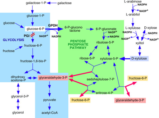 Glycolysis and the pentose phosphate pathway. Enzyme abbreviations: GPDH, glucose-6-P dehydrogenase and PGI, phosphoglucose isomerase.