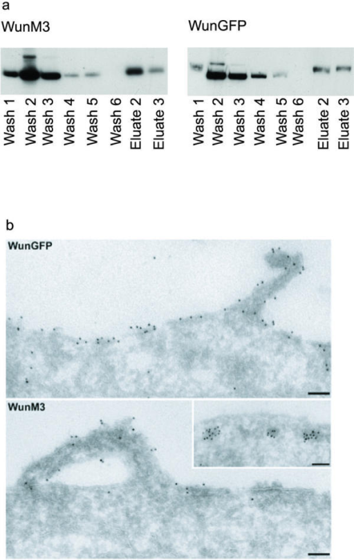 Proteins at the Cell Surface (a) Biotinylation of WunM3 and WunGFP at the cell surface. Washes = non-biotinylated proteins; Eluates = biotinylated cell surface proteins. We used internal tubulin as a negative control and the cell surface marker CD2 as a positive control (data not shown). (b) EM shows both proteins at the cell surface, with WunM3 present in sub-cortical vesicles.