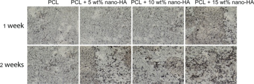 Alkaline phosphatase staining of human bone marrow stromal cells cultured on pure PCL and PCL with 5 wt%, 10 wt%, and 15 wt% nano-HA scaffolds at 1 and 2 weeks in common medium.Abbreviations: HA, hydroxyapatite; PCL, poly-ε-caprolactone.