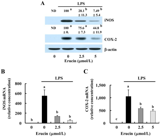 Erucin decreases LPS-induced expression of inducible nitric oxide synthase (iNOS) and cyclooxygenase (COX)-2 in RAW 264.7 cells. RAW 264.7 cells were treated with various concentrations of erucin in the presence of LPS. (A) Cell lysates were subjected to Western blotting with their relevant antibodies. The relative abundance of each band to their own β-actin was quantified, and the LPS control levels were set at 100%. The adjusted mean ± SEM (n = 3) of each band is shown above each blot; (B,C) Total RNA was isolated, and real-time RT-PCR was performed; (D,E) RAW 264.7 cells were transfected with the murine iNOS or COX-2 reporter gene construct. The transfected cells were treated with various concentrations of erucin in the presence of LPS. Cell lysates were prepared to determine luciferase activity. Each bar represents the mean ± SEM (n = 4). Means without a common letter differ (p < 0.05). ND: not detected.