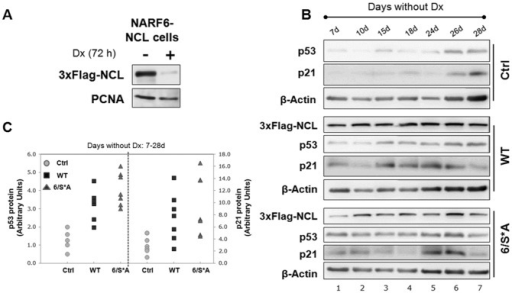 NARF6-NCL clones with inducible NCL (WT or 6/S*A) expression.(A) Western blot of a representative clone that expresses 3xFlag-NCL under Tet-off promoter in NARF6 cells (derived from U2OS). (B) Western blot analyses for cells grown without Dx for the indicated period showing inducible NCL-expression (WT or 6/S*A). Both WT and 6/S*A led to a net increase in p53 protein levels and corresponding p21 protein levels -the downstream target of p53. (C) Plots of p53 and p21 protein levels shown in 2B. The quantification was done by NIH Image J software. Values were first corrected for the β-actin levels and then compared to Ctrl (no exogenous NCL, no Dx day 7) cells. The graph is representative of at least three independent experiments.