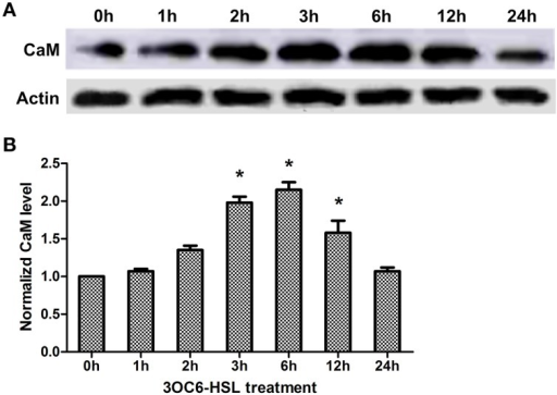 Effects of 3OC6-HSL on the accumulation of CaM protein in Arabidopsis roots. The plants were grown in hydroponic Hoagland medium with or without 1 μM 3OC6-HSL. Total protein was extracted from roots at different time interval after 3OC6-HSL treatment. (A) The change of CaM protein level detected by western blot. Actin was used as an internal quantification control. (B) The change of CaM protein level detected by ELISA using polyclonal antibody against wheat CaM. The results were normalized to the CaM protein level of untreated samples. Each value was the average of three independent experiments. Entries with p-values < 0.05 shown with asterisk.
