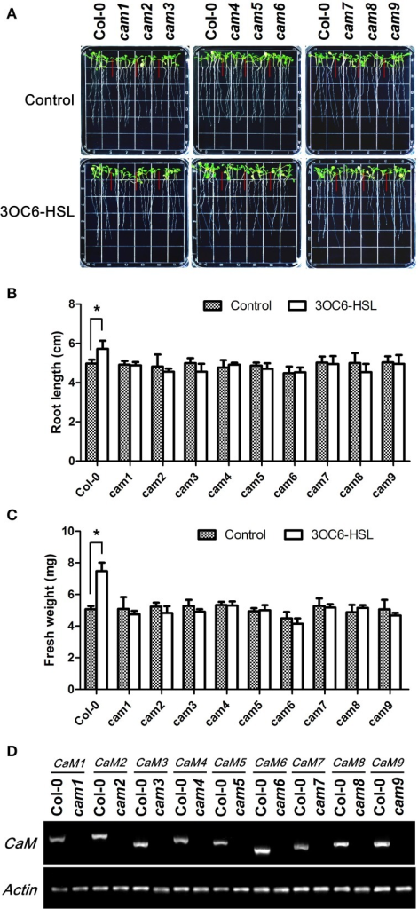 The stimulating effect of 3OC6-HSL on primary root elongation is diminished in loss-of-function mutants of individual AtCaM genes. (A) Images of Arabidopsis wild-type plants and CaM functional-deficiency mutants cam1, cam2, cam3, cam4, cam5, cam6, cam7, cam8, and cam9 grown side by side on vertically oriented plates containing with or without 1 μM 3OC6-HSL after 7 days of cultivation. (B) Plot of effect of 3OC6-HSL on primary root length in wild-type seedlings and cam1-cam9 mutant seedlings. (C) Plot of effect of 3OC6-HSL on fresh weight in wild-type seedlings and cam1-cam9 mutant seedlings. Each experiment included at least 30 seedlings for each genotype and treatment. Data shown are the average of four independent experiments. Entries with p-values < 0.05 shown with asterisk. (D) Identification of CaM  mutants by RT-PCR. Total RNA was extracted from the leaves of one-month-old wild type (Columbia, Col-0) and CaM mutants (cam1-cam9) seedlings and RT-PCR were done to amplify CaM1, CaM2, CaM3, CaM4, CaM5, CaM6, CaM7, CaM8, and CaM9 genes both from wild type RNA and from corresponding CaM mutant RNA. Actin was used as the endogenous reference gene.