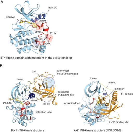 Structure of the kinase domain of Btk and its interaction with the PH domain.(A) Crystal structure of the isolated Btk kinase domain with mutations in the activation loop. These mutations (L542M, S543T, V555T, R562K, S564A, and P565S) are based on a previous study (Joseph et al., 2013), and they improved the quality of the crystals of the PH-TH-kinase construct. The structure of the mutant kinase is very similar to that of the wild-type Btk kinase domain (PDB: 3OCS). (B) Comparison of the Btk PH-TH-kinase structure (left) and the Akt1 PH-kinase structure (right). In Akt1, The PH domain is docked between the N lobe and the C lobe of the kinase domain, and it blocks substrate access to the catalytic cleft. The lipid-binding site on the PH domain is buried at the PH-kinase interface, and binding of PIP3/IP4 breaks the PH-kinase interface and activates Akt1 (Wu et al., 2010; Calleja et al., 2009).DOI:http://dx.doi.org/10.7554/eLife.06074.008