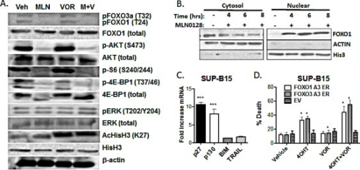 MLN0128 induces dephosphorylation and nuclear translocation of FOXO factors (A) Lysates from SUP-B15 cells treated for the indicated times with vehicle alone, MLN0128 (100 nM), vorinostat (500 nM), or the combination (M + V)Blots were probed for the proteins and phosphosites shown on the right. (B) SUP-B15 cells were treated for the indicated times with MLN0128 (100 nM) before cell fractionation into nuclear and cytoplasmic extracts. Fractions were subjected to western blotting with anti-FOXO1 antibody. Antibodies to β-actin and histone H3 were used to confirm the purity of cytoplasmic and nuclear fractions. (C) SUP-B15 cells were treated for 4 hr with vehicle or 100 nM MLN0128. mRNA was obtained and expression of the indicated gene products was determined by Q-PCR. Graph depicts the fold increase in mRNA in cells treated with MLN0128 versus vehicle (mean +/− SEM, n = 3). *** p < 0.001, one-way ANOVA. BIM and TRAIL mRNA was not increased at 6 or 8 hr post-treatment (not shown). (D) SUP-B15 cells were infected with retroviruses expressing a human CD4 marker gene lacking the cytoplasmic tail and magnetically sorted to enrich hCD4+ cells. The vectors contained no insert (EV) or cDNAs encoding triple-alanine mutants of FOXO1 or FOXO3a fused to the hormone binding domain of the estrogen receptor (ER). Cells were then treated with vehicle or 4OHT for 48hr in the absence or presence of vorinostat (500 nM). The percentage of cell death was determined after 48 hr by 7-AAD staining (mean +/− SEM, n = 3). * p < 0.05; paired two-tailed t-test.