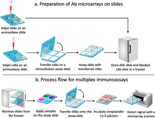 Schematic outlining the process flow for preparing the slides and performing an antibody colocalization microarray in a snap chip format.a, dAbs are spotted onto an aminosilane-coated slide that is stored in a freezer. cAbs are spotted onto another aminosilane-coated slide with the same spotting layout and transferred to a nitrocellulose-coated assay slide followed by blocking and storage in a freezer. b, both slides are removed from the freezer prior to use. The assay slide is incubated with sample solutions, and then the dAbs are transferred to the assay slide by snapping followed by incubation with streptavidin-Cy 5. Next, the assay results are imaged with a fluorescence microarray scanner, and the data are analyzed.