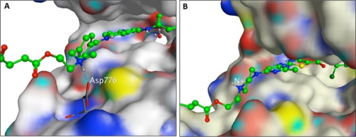 Molecular modeling of AL776.(A) AL776 modeled in the EGFR kinase-binding pocket usingthe Protein Data Bank (PDB) with code 1M17. The quinazoline moiety canbind to the hinge region in a manner analogous to erlotinib, while thelinker-dasatinib portion of AL776, exposed to solvent, can adopt anumber of conformations. The protonated form of the tertiary amine inAL776 can interact with Asp776. (B) AL776 modeled in thec-Src pocket using the PDB with code 3G5D. The dasatinib moiety of AL776binds to the hinge portion of the c-Src ATP binding pocket in a poseidentical to dasatinib while the linker-quinazoline portion of AL776points out into solvent and can adopt many conformations.