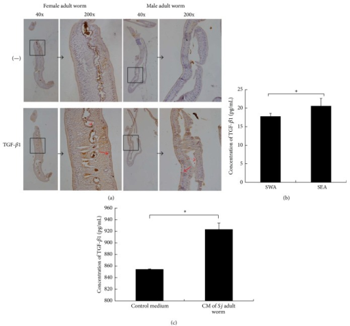 TGF-β1 protein was expressed in Sj and was secreted. (a) Sj adult female and male worms were fixed in paraformaldehyde, embedded in paraffin, and then sliced and stained for TGF-β1. Representative staining (brown) is shown at 40x magnification (large panel) and ×200 (inset). Dotted red arrow: gut epithelial cells; solid red arrow: subtegumental cells. (b) Equal amounts of Sj soluble adult worm antigen and soluble egg antigen were tested for TGF-β1 by ELISA. Data were shown as means ± SD. Experiment was performed four times (∗P < 0.05; and ∗∗P < 0.01 compared with negative PBS control). (c) Twenty pairs of adult worms were freshly collected, washed thrice using PBS, transferred into 2 mL sterile RPMI 1640 medium supplemented with 1 mM glutamine, 1000 units/mL penicillin, and 1000 μg/mL streptomycin for 2 h, and finally cultured in 2 mL sterile RPMI 1640 medium supplemented with 20% FBS, 1 mM glutamine, 100 units/mL penicillin, and 100 μg/mL streptomycin for 16 h. Sj worm culture medium was collected for TGF-β1 detection by ELISA, and condition medium (sterile RPMI 1640 medium supplemented with 20% FBS, 1 mM glutamine, 100 units/mL penicillin, and 100 μg/mL streptomycin) was used as control. Experiment was performed four times (∗P < 0.05; and ∗∗P < 0.01 compared with control medium without Sj adult worms).