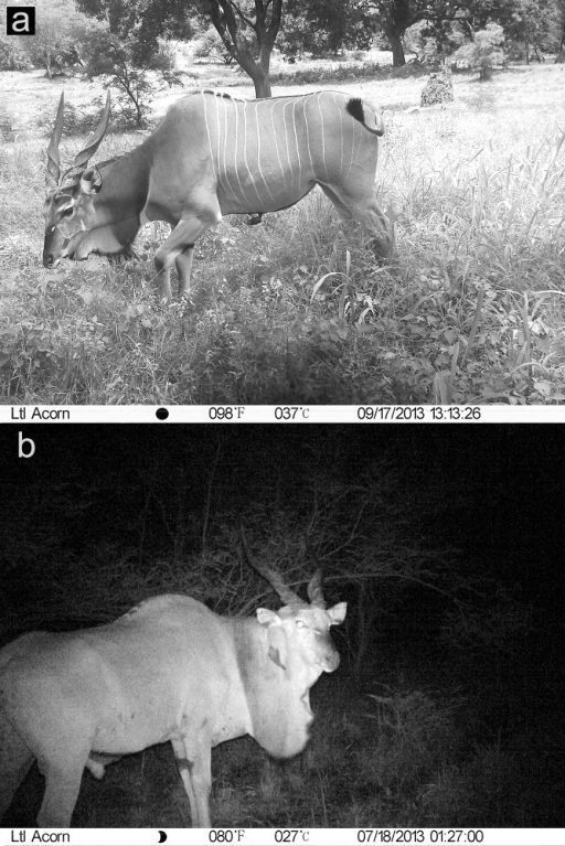 Photographs of a Derby eland female in the daytime (a) and a male at night (b) taken by camera traps in the Fathala reserve, illustrating the poor visibility of markings in the night shot.