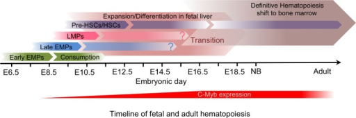 Timeline of fetal and adult hematopoiesis. The primitive hematopoiesis is initiated in the yolk sac independently of C-Myb activity, and generates early CSF-1R+ EMPs that give rise to YS macrophages without monocytic intermediates during a short time window and will establish the brain microglia. The transient definitive hematopoiesis and then the definitive hematopoiesis are both dependent on C-Myb activity and generate progenitors that differentiate in the fetal liver. The transient definitive wave, which include EMPs and then LMPs, give rise in particular to fetal monocytes that seed the tissues prior to birth to establish the self-renewing tissue-resident macrophage network. Although only HSCs, which result from the definitive hematopoiesis, seem to be maintained in the bone marrow in adults, the relative contribution of the transient definitive wave to the adult immune system remains unclear.