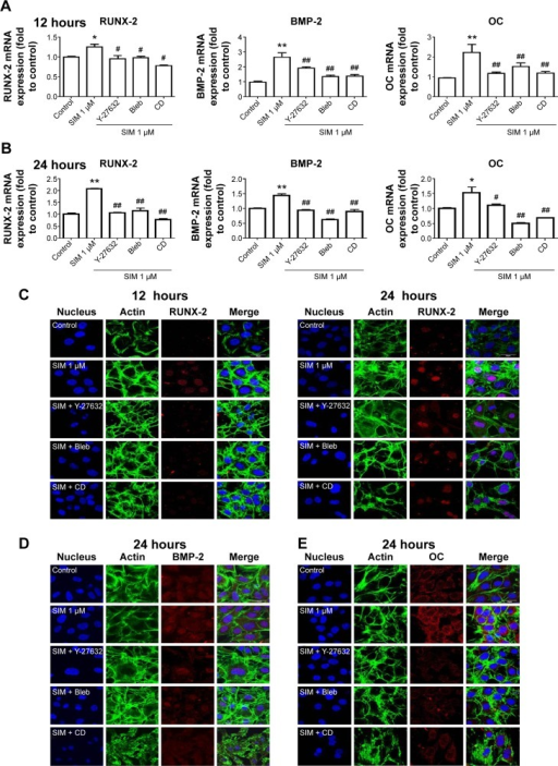 Simvastatin-induced osteogenic gene and protein expression was affected by cytoskeletal alteration agents.Notes: Disrupting the actin filament organization or decreasing cell rigidity significantly reduced the simvastatin-induced upregulation of osteogenic genes, including Runx2, BMP-2, and OC, 12 (A) and 24 hours (B) after SIM treatment. Immunofluorescence staining revealed simvastatin-induced osteogenic transcription factor Runx2 in the nucleus at 12 (C) and 24 hours (D) and the osteogenic proteins BMP-2 (C) and OC (E) in the cytosol at 24 hours were significantly abrogated by the biochemical agents. Results are mean values of three independent measurements, error bars: SEM. *P<0.05; **P<0.01 vs control; #P<0.05, ##P<0.01 vs SIM (1 µM).Abbreviations: SIM, simvastatin; Bleb, blebbistatin; CD, cytochalasin D; SEM, standard error of the mean; OC, osteocalcin.