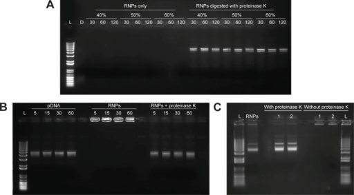 Gel retardation assay performed to evaluate the effect of dichloromethane and sonication on the stability of the RNPs.Notes: (A) pDNA and RNPs were probe sonicated at 40%, 50%, and 60% amplitude for 30, 60, and 120 seconds; (B) DNA and RNPs vortexed with dichloromethane for 5, 15, 30, and 60 minutes. (C) RNPs processed through double emulsification process. The secondary emulsion was sampled after 1 and 2 minutes of sonication. Same samples were loaded with or without disruption with proteinase K after the sonication treatment.Abbreviations: L, 1 kb plus DNA ladder; D, DNA only; pDNA, plasmid DNA; RNPs, cationic RALA nanoparticles.