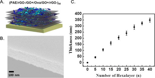 (A) Schematic illustration of the (PAE/rGO−/GO+/OVA/GO+/rGO−)40. (B) Representative surface morphology of a multilayer film: cross-sectional SEM image of as-assembled (PAE/rGO−/GO+/OVA/GO+/rGO−) 40-multilayer films. Scale bar = 100 nm. (C) Growth curve for electrostatically assembled (PAE/rGO−/GO+/OVA/GO+/rGO−)40 multilayer films versus the number of hexalayers.