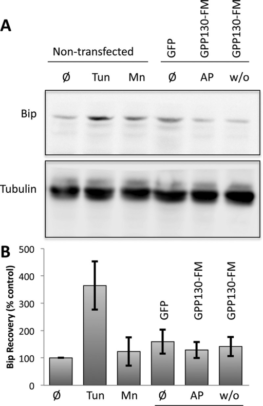Oligomerization-induced trafficking is not associated with UPR activation. (A) Immunoblots using anti-Bip or anti-tubulin antibodies of extracts from nontransfected cells (lanes 1–3) or cells transfected with GPP130-GFP or GPP130-FM (lanes 4–6). The cells were untreated (Ø), tunicamycin treated (Tun) to induce the UPR, Mn treated (Mn) to cause endogenous GPP130 redistribution, left in AP (AP), or subjected to AP washout (w/o) to cause oligomerization of GPP130-FM. (B) Quantification of Bip recovery as a percentage of Bip levels in untreated cells (mean ± SEM, n = 3).