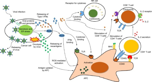 Infection with OVs enhances immune activation against cancer cells.Notes: Infection with OVs induces genotoxicity and ER stress in cancer cells. IFN-1 released from cancer cells activates NK cells and CD8+ T-cells. This event induces cytotoxicity and cell death in surrounding uninfected cancer cells. Conversely, oncolysis induces the production of neoantigens by cancer cells, which are presented by APCs to CD4+ and CD8+ T-cells for activation. Activated CD4+ T-cells secrete IL-2 and enhance the cytotoxicity of CD8+ T-cells. These mechanisms enhance immune activation against cancer cells. Data from Kaufman et al.8Abbreviations: APC, antigen-presenting cell; CD, cluster of differentiation; ER, endoplasmic reticulum; IFNs, interferons; IL, interleukin; NK, natural killer; OVs, oncolytic viruses; ROS, reactive oxygen species.