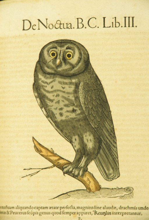 <p>Hand-colored woodcut of an owl perched on a branch.</p>