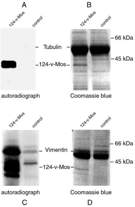 124-v-Mos phosphorylates vimentin but not tubulin. In vitro 124-v-Mos kinase assays with either vimentin (C,D) or purified tubulin from brain (A,B) as substrates were electrophoresed using 10% SDS-PAGE and Coomassie stained (B,D), the corresponding autoradiographs are shown in (A,C). Immunoprecipitates of Sf9 cells expressing the kinase-inactive PKCγK380R were indicated as controls.