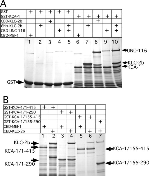 In vitro reconstitution of a complex between kinesin heavy chain, kinesin light chain, and KCA-1. (A) Glutathione Sepharose beads were coated either with glutathione S-transferase (GST; lanes 1–5) or a GST fusion with aa 1–290 of KCA-1 (GST-KCA-1; lanes 6–10). Coated beads were incubated with different chitin binding domain intein fusion proteins (CBD) and washed extensively, and the bound complexes were eluted with SDS, resolved by SDS-PAGE, and detected with Coomassie brilliant blue R staining. The negative control, CBD-MEI-1, did not bind to GST (lane 1) or KCA-1 (lane 6). In contrast, both a 6his-KLC-2b fusion (lanes 2 and 7) and a CBD-KLC-2b fusion (lanes 3 and 8) bound with a high stochiometry to KCA-1 but not to the GST control. CBD-UNC-116 (lanes 4 and 9) bound to KCA-1 with a low stochiometry, but significantly more CBD-UNC-116 associated with KCA-1 beads when 6his-KLC-2b was also present (lanes 5 and 10). This result indicates that KLC-2b can form a ternary complex with both UNC-116 and KCA-1. (B) Glutathione Sepharose beads were coated with GST fusions to different deletion derivatives of KCA-1 and incubated either with the negative control, CBD-MEI-1 (lanes 1, 3, and 5), or CBD-KLC-2b (lanes 2, 4, 6, and 7). Beads were washed extensively and bound complexes were eluted with SDS, resolved by SDS-PAGE, and detected with Coomassie brilliant blue R staining. A high stochiometry of CBD-KLC-2b associated with both aa 1–415 of KCA-1 (lane 2) and aa 1–290 (lane 4). In contrast, much less CBD-KLC-2b associated with KCA-1 aa 155–415 (lane 6) or 155–290 (lane 7). These results indicate that most of the binding to KLC-2b is mediated by the NH2-terminal 155 aa of KCA-1. Note that all lanes containing CBD-KLC-2b also have a polypeptide corresponding to KLC-2b alone produced by spontaneous cleavage of the intein fusion. Also, KCA-1 derivatives that contain the COOH-terminal 125 aa migrate anomalously slowly relative to derivatives without this region.