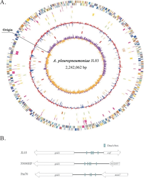 The characterizations of A. pleuropneumoniae JL03's genome and the oriC region.(A) Circular genome representation of JL03. Circles are numbered from 1 (outer circle) to 10 (inner circle). The circles 1/2 shows predicted CDSs on the plus and minus strand in JL03 color-coded by COG categories. All genes are colored according to biological functions: gold for translation, ribosomal structure and biogenesis; orange for RNA processing and modification; light orange for transcription; dark orange for DNA replication, recombination and repair; antique white for cell division and chromosome partitioning; pink for defense mechanisms; tomato for signal transduction mechanisms; peach for cell envelope biogenesis and outer membrane; deep pink for intracellular trafficking, secretion and vesicular transport; pale green for posttranslational modification, protein turnover and chaperones; royal blue energy production and conversion; blue for carbohydrate transport and metabolism; dodger blue for amino acid transport and metabolism; sky blue for nucleotide transport and metabolism; light blue for coenzyme metabolism; cyan for lipid metabolism; medium purple for inorganic ion transport and metabolism; aquamarine for secondary metabolites biosynthesis, transport and catabolism; gray for function unknown. Circle 3/4, the putative horizontal transferred genes in deep pink identified by SIGI-HMM on the forward and reverse strand. Circle 5, repetitive elements in yellow, above 200nt and cutoff value 1e-10. Circle 6, transposases in green and potential prophage genes in dark orange. Circle 7, mean centered GC content of JL03 genes (red: above mean, blue-below mean). Circle 8, tRNA genes in orange. Circle 9, rRNA genes in red. Circle 10, GC Skew plot (windowsize: 1000, windowoverlap: 500). (B) Genetic organization of the oriC regions in three representative organisms within the family of Pasteurellaceae: JL03, A. pleuropneumoniae; 35000HP, H. ducreyi; and Pm70, P. multocida.