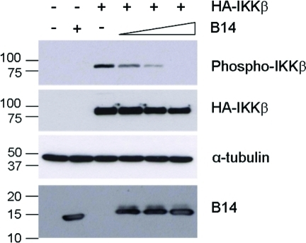 B14 Inhibits Phosphorylation of IKKβ on Ser 177/181HEK 293T cells were transfected with vectors expressing B14 (3, 1.2, and 0.6 μg) and HA-IKKβ (2 μg). The empty vector pCI was used to adjust the total DNA added to 5 μg per reaction per 6 cm dish. After 24 h, cell lysates were resolved by SDS-PAGE (15% gel) and analysed by immunoblotting using the Abs indicated on the right (the anti-HA mAb was used to detect total HA-IKKβ). Sizes of bands detected are indicated on the left in kDa.