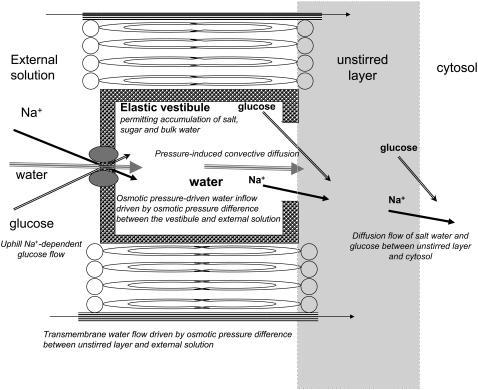 Diagram showing routes of water flow across GLUT2 or SGLT and the oocyte membrane. Two routes are shown. One is via the transporter through which water and cotransported solutes pass via the external tight opening, then the vestibule, then via the wide vestibular exit into the external cytosolic layer. The other route permits only water flow determined by the osmotic pressure difference between the outer cytosol and the external solution.