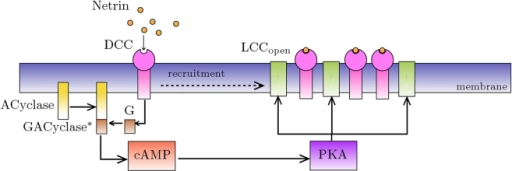 Proposed path for GC chemotaxis induced by netrin binding with DCC receptors.Solid arrows indicate the prevalent direction of chemical reactions, the dashed arrow indicates physical displacement (recruitment) of receptors induced by open calcium channels.
