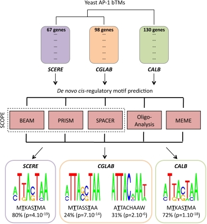Identification of cis-regulatory motifs in promoter sequences of AP-1 bTM genes.Yeast AP-1 bTMs were characterized using the procedure presented in Figure 1. They are represented here using the following color code: Yap1p bTM in S. cerevisiae (SCERE) in purple, Cgap1p bTM in C. glabrata (CGLAB) in orange, Cap1p bTM in C. albicans in green. Promoter sequences of genes were analyzing using a combination of five different algorithms (BEAM, PRISM, SPACER, Oligo-Analysis and MEME) and applying a filter procedure to select the most significant motifs (see Material and Methods and Text S3). 12 motifs were identified in SCERE, 7 motifs in CGLAB and 8 motifs in CALB. They are presented in Text S4. In each species, these motifs were combined and consensus sequences are shown here (SeqLogo representations). A unique consensus MTKASTMA was observed in promoters of SCERE and CALB genes and two consensuses (MTTASSTAA, ATTACHAAW) were observed in promoters of CGLAB genes (where M designates A or C, K designates G or T, S designates C or G and W designates A or T). Percentages of genes in each AP-1 bTMs that exhibit those consensuses are indicated below the SeqLogo representations, with the associated enrichment p-value (see Materials and Methods). Highly conserved positions between the consensuses are underlined. They are predicted to strongly interact with the TF DNA binding domain, based on structural inspection of the Pap1p/DNA complex (see Figure 4).