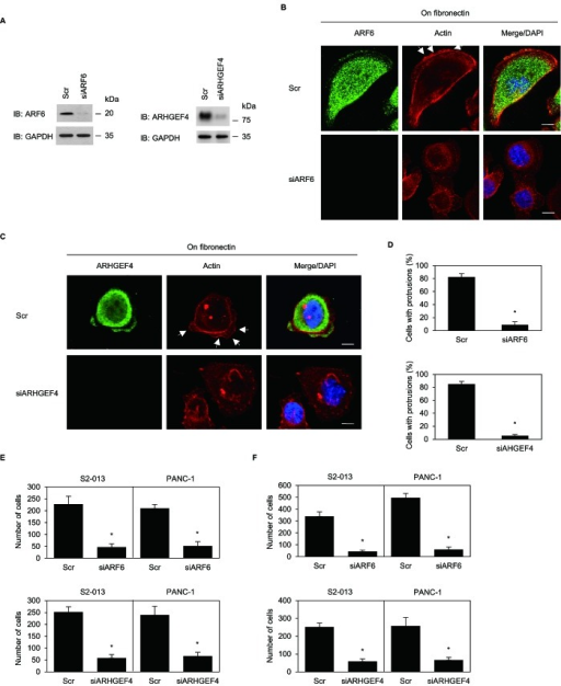 ARF6 and ARHGEF4 promote cell motility and invasion via forming cell protrusions(A) RNA oligonucleotides were transiently transfected into S2-013 cells; the siRNAs targeted ARF6 (siARF6) or ARHGEF4 (siARHGEF4); the negative control was a scrambled RNA (Scr). Western blot was performed using anti-ARF6 or anti-ARHGEF4 antibody. (B) Oligonucleotides were transiently transfected into S2-013 cells; the siRNA targeted ARF6 (siARF6); the negative control was a scrambled RNA (Scr). S2-013 cells transfected with Scr or siARF6 were incubated on fibronectin, and cells were stained with anti-ARF6 antibody (green) and phalloidin (red). Arrows; peripheral actin structures in cell protrusions of Scr-transfected cells. Blue, DAPI staining. Bars, 10 μm. (C) Oligonucleotides were transiently transfected into S2-013 cells; the siRNA (siARHGEF4) targeted ARHGEF4. Scr- or siAHGEF4- transfected S2-013 cells were incubated on fibronectin, and cells were stained with anti-ARHGEF4 antibody (green) and phalloidin (red). Arrows; peripheral actin structures in cell protrusions of Scr-transfected cells. Blue, DAPI staining. Bars, 10 μm. (D) Quantification of data shown in Figure 7B and 7C, as described in Figure 6B. Columns, mean; bars, SD. *p < 0.001 compared with Scr-transfected controls (Student's t-test). (E, F) Oligonucleotides targeting ARF6 or ARHGEF4 or Scr was transiently transfected into S2-013 or PANC-1cells. The motility (E) and two-chamber invasion assays (F) were performed. Migrating cells in four fields per group were scored. Data derive from three independent experiments. Columns, mean; bars, SD. *p < 0.001 compared with Scr-transfected control (Student's t-test).