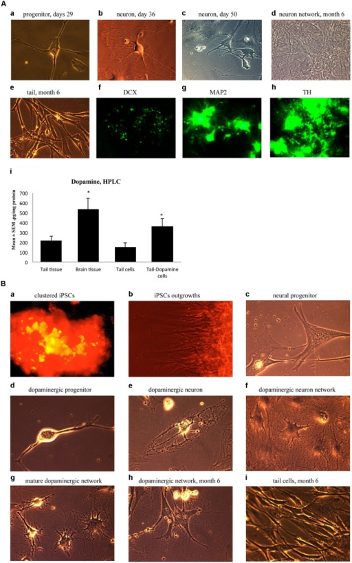(A) Immature neuronal cells that were cultured in a Dopaminergic Neuronal Progenitor Medium began to show morphological signs of neuronal maturity between Day 29–50 (a,b,c) and after 6 months these cells displayed further signs of mature network formation (d). Importantly, control tail cells that were not subject to the reprogramming procedures kept their original shape at 6 months (e). As well, during this time, expression of the early immature neuronal cell marker, DCX, was greatly diminished (f), together with increased expression of the mature general neuronal cell marker, microtubule associated protein 2 (MAP2), (g), and specific dopaminergic neuronal marker, tyrosine hydroxylase (TH), (h) was evident. Further confirmation that the reprogrammed neurons were mature dopaminergic neurons was obtained using HPLC (i); wherein tail cells that were re-programmed (Tail-Dopamine cells) displayed significantly increased dopamine levels, compared to non-reprogrammed controls (Tail cells). Furthermore, dopamine levels in non-reprogrammed controls were, as expected, quite low (Tail tissue), whereas freshly dissected adult midbrain tissue had the expected highest concentration of dopamine (Brain tissue). *p < 0.05, relative to control tails. (B) Shows the time course for dopaminergic neuron derivation. The adult mouse (aged 2 months) fibroblasts were reprogrammed by vector 20866 with c-Myc, Klf4, Oct4, and Sox2 genes and an mOrange marker was used to detect gene expression after 2-weeks in cell culture (a). Induced pluripotent stem cells (iPSCs) began to show obvious outgrowths at Days 15 and 20 (b). The undifferentiated iPSCs were transformed into neural progenitor cells following culture in the Neural Induction Medium (see Materials and Methods) during Days 21–28 (c). The neural progenitor cells were further differentiated into dopaminergic neural progenitors with the Dopamine Neuronal Progenitor Medium from Days 29–35 (d). From Days 36 to 50, the cells were subsequently differentiated into mature dopaminergic neurons by culturing in the Dopamine Neuronal Differentiation Medium (e,f,g). The mature dopaminergic neurons were grown for up to 6 months (h), and were visibly easy to distinguish from the original un-reprogrammed adult fibroblasts from parallel control cultures (i).