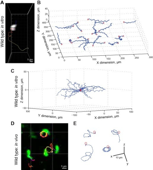 Parameterization of P. berghei ookinete cell movement by in vitro and in vivo three dimensional motility assays.A and B. (A) A sample 3D ookinete track in Matrigel and (B) reconstructed 3D tracks from a single well Matrigel assay exhibiting characteristic helical motion paths.C. Reconstructed tracks in vitro from panel (B) translocated to a common origin do not show any prominent bias in direction.D and E. Imaging and single motion tracks for ookinetes imaged in an explanted Anopheles stephensi midgut. Red circles in tracks denote the initial position of fluorescent ookinetes (see also Supplementary Movies S1–S4).