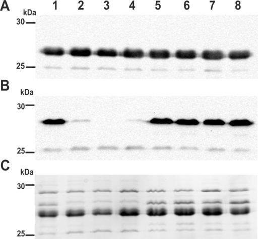 Immunoblot analysis of outer membrane preparations derived from V. cholerae treated with NPs. Depicted are the immunoblots for the detection of OmpU (A) or OmpT (B) as well as the protein profiles after Kang-staining (C) of OM preparations from V. cholerae grown in LB broth without supplements (lane 1) or supplemented with zinc nitrate (lane 2), ZnO-NPs-L (lane 3), ZnO-NPs-F (lane 4), Ag-NPs-L (lane 5), Ag-NPs-F (lane 6), C. procera leaf extract (lane 7) or C. procera fruit extract (lane 8). Samples (approx. 6 μg protein each) were separated by SDS-PAGE (15% gels) and protein bands were visualized according to Kang et al. (2002). Lines to the left indicate the molecular masses of the protein standards in kDa.