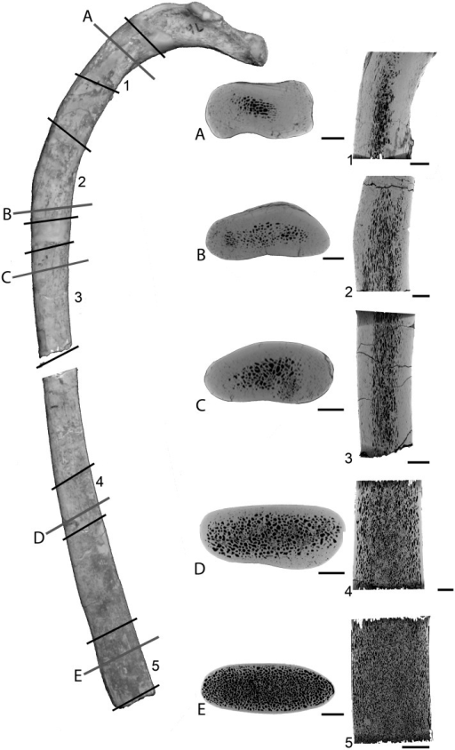 Left rib 4 of Dorudon atrox UM 101222 (WH-224).A photo of the rib with scanned segments (1 to 5) and positions of the transverse sections (A to E) labelled is shown on the left in posterior view. Corresponding virtual transverse and longitudinal sections are shown on the right (in center and right columns, respectively). Scale bars equal: A-E, 5 mm; 1–5, 10 mm.