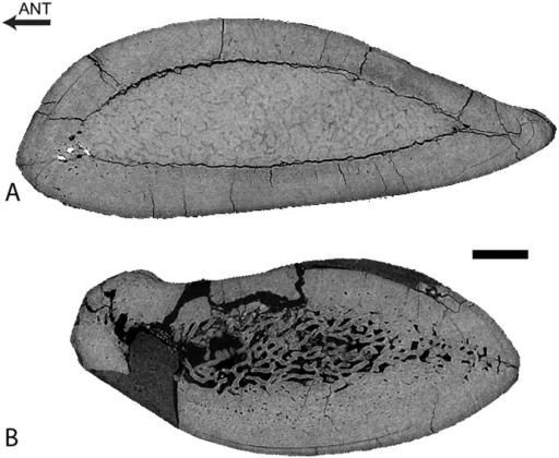 Dorudon atrox UM 101222 (WH-224).Virtual transverse sections of the left ulna (A) and radius (B). Scale bar equals 5 mm.