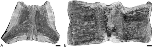 Scanned polished sections of lumbar or anterior caudal vertebrae of Basilosaurus cetoides.A- USNM 510831a, transverse section figured in Fordyce & Watson, 1998; dorsal is at the top. B, USNM 510831b, longitudinal section. Scale bars equal 2 cm.
