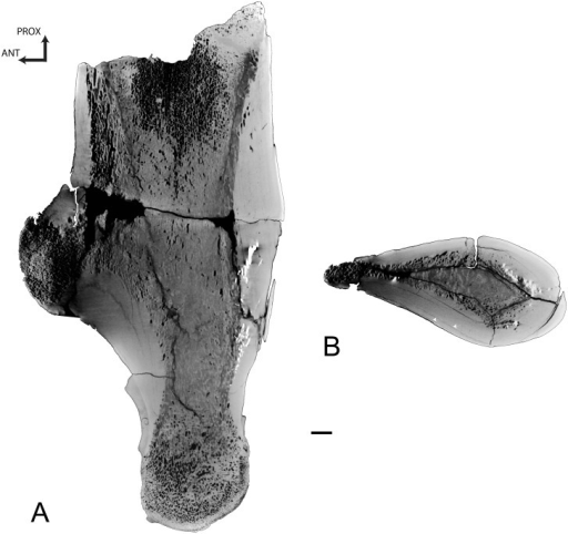 Left humerus of Basilosaurus isis UM 94803 (WH-9).A, Longitudinal section of the specimen in lateral view. B, transverse section. Arrows point to LAGs. Scale bar equals 10 mm.
