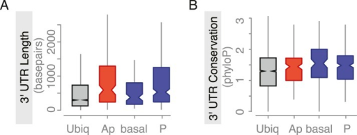 Embryo localized mRNAs also have long, conserved 3′UTRs.Distributions of median 3′UTR length (A) and conservation of the 3′UTR sequence (B, across 24 Drosophila species) for embryo gene sets. Shown are genes that are ubiquitously expressed during embryogenesis, genes whose RNAs were enriched at the apical or basal membrane in blastoderm embryos and RNAs at the posterior pole.DOI:http://dx.doi.org/10.7554/eLife.05003.011