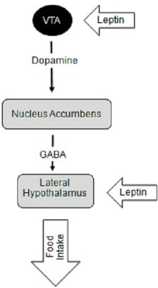 Schematic diagram depicting the deep brain stimulation (DBS) targets for obesity and their role in homeostatic pathway of energy balanceThe LH is responsible for providing anabolic feedback onto the autonomic nervous system effectors. The nucleus accumbens (NAc) is the center of the reward pathway in the brain integrating inputs from various high cortical brain areas and the limbic system to reinforce certain beneficial behaviors, such as feeding. Integration of the reward pathways with feeding behavior begins with dopamine release from the ventral tegmental area (VTA) neurons that project onto the nucleus accumbens (NAc). Within the NAc, there are neurons that projection onto the lateral hypothalamus (LH) which contain neurons that stimulate food intake. These nuclei also respond to various hormonal peptides, such as leptin, that are released by the the metabolic systems of the body that link food intake and energy metabolism to the reward pathways within the brain.