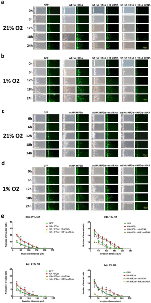 Time-course microfluidic chip migration assay of U87 glioma cells overexpressing HIF1α and HIF2αU87 glioma cells were transfected with GFP alone or GFP with a wild-type hemagglutinin-tagged (HA)-HIF1α gain-of-function construct. HIF1α gain-of-function cells were either transfected with HA-HIF1α alone or with nt-siRNA or HIF1α-siRNA. Cell cultures were then placed in the microfluidic chip assay, exposed to 21% (a) or 1% (b) oxygen saturation and imaged at 0, 6, 12, 18 and 24 hours, as indicated. The same set of experiments were performed using HA-HIF2α and HIF2α-siRNA in (c) and (d). Exposure to either hypoxia or transfection with HIF1α and HIF2α gain-of-function constructs enhanced cell migration, and migration was significantly reduced by siRNA knockdown of HIF1α and HIF2α, respectively. Scale bar = 100 μm. (e) Quantification of microfluidic chamber invasion assays shown in panels a-d. The y-axis reflects the number of invaded cells at each distance at 24 h (standard deviation [S.D.]).
