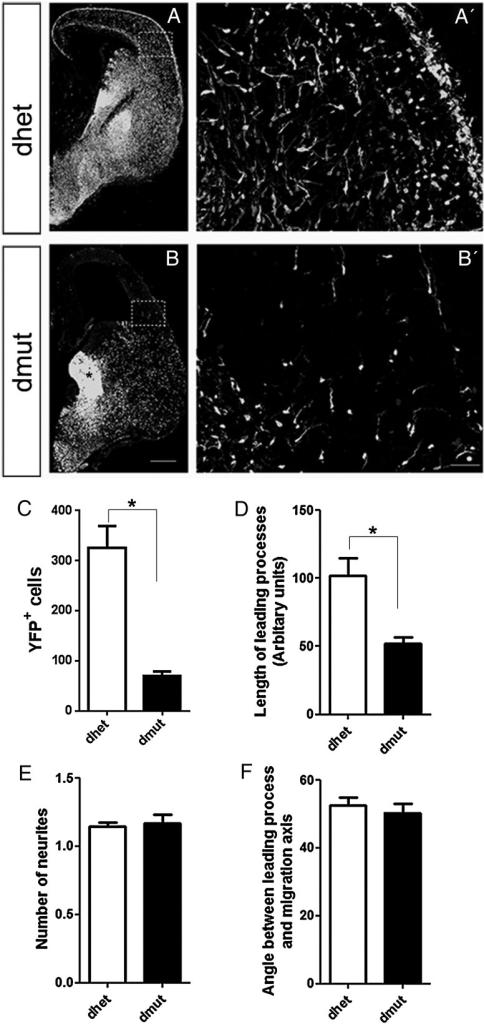 In vivo the migrating Rac1/Rac3-deficient cells have shorter leading process length compare with the control cells. Coronal sections from E15.5 control and Rac1/Rac3 double-mutant embryos were stained with an anti-GFP antibody (A, B). A′ and B′ high magnification of the boxed areas in A, B used for quantifications. The number of YFP+ cells (C), the length of the leading processes (D), the number of neurites (E), and the angle between the leading processes and migration axis (F), were determined and statistical significance was assessed, using Student's t-test (P value < 0.05, n = 20). Error bars represent the standard error of mean. Scale bars: A, B 300 μm; A′ and B′ 50 μm.