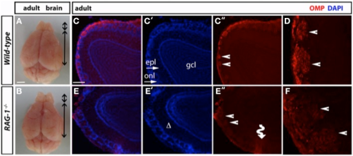 Impaired tissue structure of the olfactory system of adult RAG-1−∕− mice. (A,B) Brains from male postnatal age (P) 21 RAG-1−∕− and control C57/BL6 mice were photographed side-by-side to demonstrate no differences in the size and gross morphology of the brain and of the olfactory bulbs (OB). (C,D) Coronal sections of the olfactory bulb from the same mice immunostained with an anti-OMP antibody showed a reduced OMP signal in the mutant mice compared to controls. DAPI was used to stain the nuclei. The funny arrow (E″) highlights the disorganized structure of the glomerulus in the mutant OB. (D,F) are higher magnification of the areas pointed by the arrows in (C″,E″). Pictures are representative of n = 3 mice of each genotypes. Scale bars: 1 mm (A,B); 100 μm (C,E).